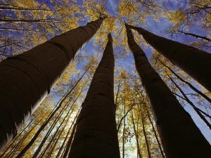 Towering Aspens by Craig Aurness