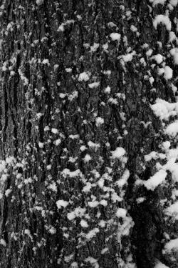 Snow Bark by Craig Howarth