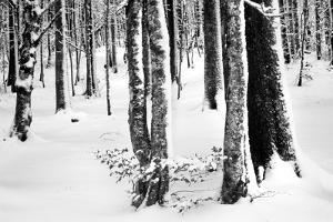 Snow Trees by Craig Howarth