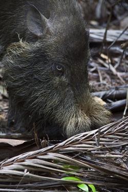 A Bornean Bearded Pig (Sus Barbatus) by Craig Lovell