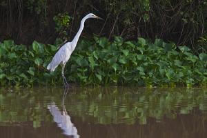 A Great Egret (Ardea Alba) Hunts along the Riverbank by Craig Lovell