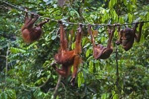 A Group of Orangutans (Pongo Pygmaeus) at the Sepilok Orangutan Rehabilitation Center by Craig Lovell