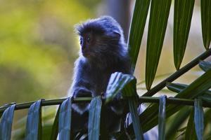 A Silvery Lutung or Silvered Leaf Monkey (Trachypithecus Cristatus) by Craig Lovell