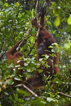 A Wild Mother and Baby Orangutan (Pongo Pygmaeus) at the Semenggok Orangutan Rehabilitation Center by Craig Lovell