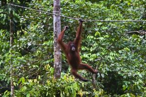 An Orangutan (Pongo Pygmaeus) at the Sepilok Orangutan Rehabilitation Center by Craig Lovell