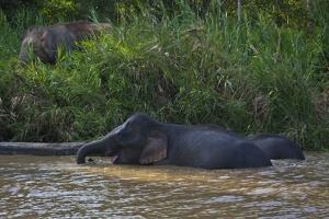 Bornean Pygmy Elephants (Elephas Maximus Borneensis) by Craig Lovell