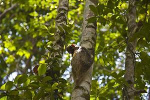 Colugo or Flying Lemur (Galeopterus Variegatus) on a Tree by Craig Lovell