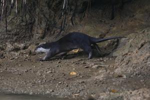 Hairy-Nosed Otter (Lutra Sumatrana) by Craig Lovell