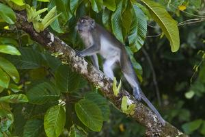 Long-Tailed Macaque (Macaca Fascicularis) by Craig Lovell