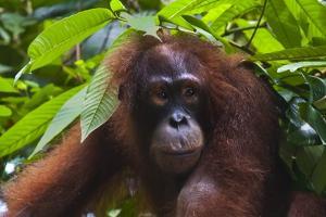 Orangutan (Pongo Pygmaeus) at the Sepilok Orangutan Rehabilitation Center by Craig Lovell