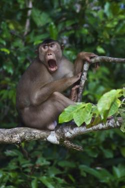 Stump-Tailed Macaque (Macaca Arctoices) by Craig Lovell
