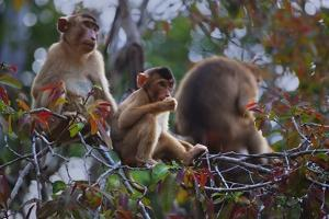 Stump-Tailed Macaques (Macaca Arctoices) by Craig Lovell