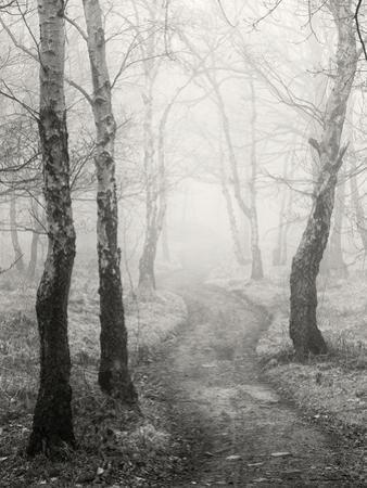 Birch Path by Craig Roberts