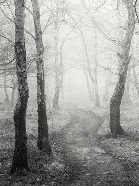 Birch Path by Craig Roberts
