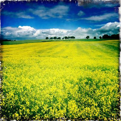 Yellow Field of Rape Seed
