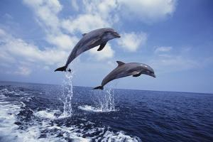 Bottlenose Dolphins Jumping by Craig Tuttle