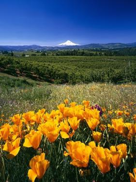 California Poppies and Mount Hood by Craig Tuttle
