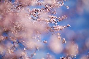Closeup of Cherry Blossoms on Tree by Craig Tuttle