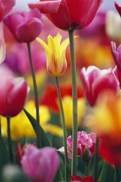 Colorful Tulip Flowers by Craig Tuttle