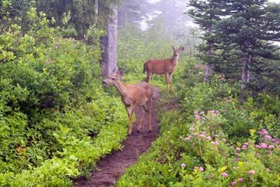 Deer on Trail in Mount Rainier National Park by Craig Tuttle