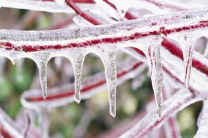 Icicles Hanging from Frozen Plant Stem by Craig Tuttle