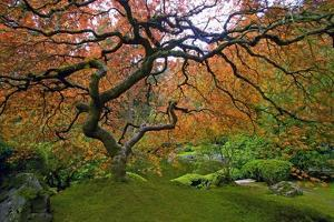 Japanese Maple in Fall by Craig Tuttle