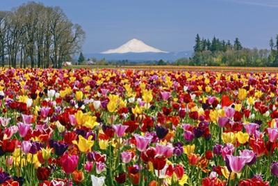 Mt.Hood over Tulips Field, Wooden Shoe Tulip Farm, Woodburn Oregon by Craig Tuttle