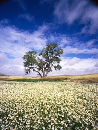 Oak Tree in Field of Daisies by Craig Tuttle