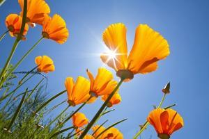 Poppies in the Sun, Oregon by Craig Tuttle