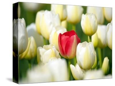 Red tulip in a field of white tulips by Craig Tuttle