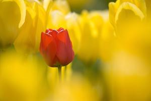 Red Tulip with Yellow Tulips by Craig Tuttle