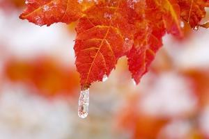 Snow and Ice on an Autumn Vine Maple by Craig Tuttle