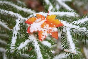 Snow Colored Maple Leaf on a Pine Branch, Mount Hood, Oregon by Craig Tuttle