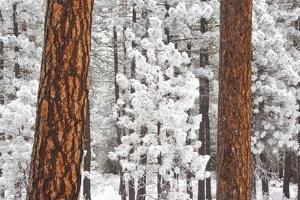 Snow Covered Ponderosa Pine Trees by Craig Tuttle