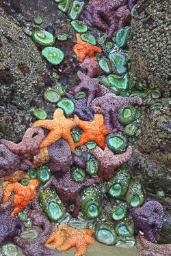 Starfish and Rock Formations Along Indian Beach, Oregon Coast by Craig Tuttle