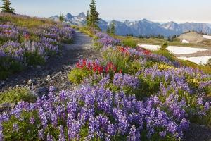 Summer Flowers and Tatoosh Mountains, Paradise, Mount Rainier National Park, Washington State by Craig Tuttle