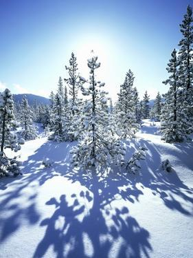 Sun Shining on Snow-Covered Trees by Craig Tuttle
