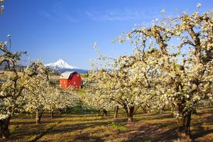 Sunrise Mt.Hood and Old Red Barn, Hood River Valley and Apple Blossoms, Hood River Oregon, Columbia by Craig Tuttle