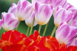 Tulips in Spring by Craig Tuttle