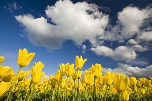 Tulips under Clear Sky by Craig Tuttle