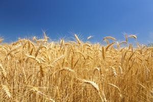 Wheat Field by Craig Tuttle