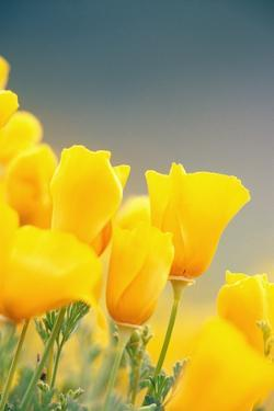 Yellow Poppy Flowers by Craig Tuttle
