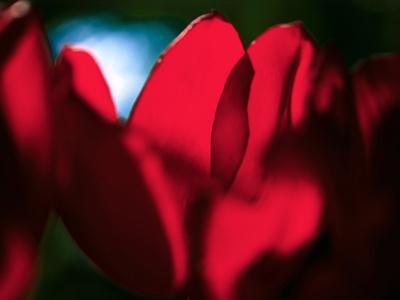 https://imgc.allpostersimages.com/img/posters/crimson-petals_u-L-Q1BK7Z90.jpg?p=0