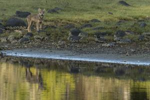 A Coastal Wolf Pup on Vancouver Island by Cristina Mittermeier