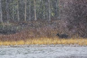 A Grizzly Bear Fishes at the Fishing Branch River in the Rain by Cristina Mittermeier