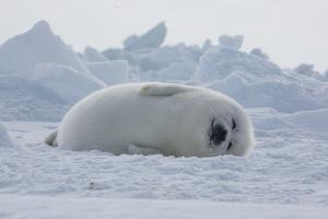 A Harp Seal Pup Sleeps at the Iles De La Madeleine in the Gulf of Saint Lawrence by Cristina Mittermeier