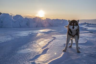 A Portrait of Sled Dog on the Sea Ice by Cristina Mittermeier