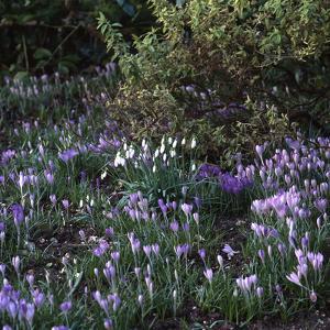 Crocus vernus/Crocus Spring