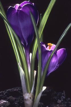 Crocus vernus/Spring Crocus/Spring Crocus