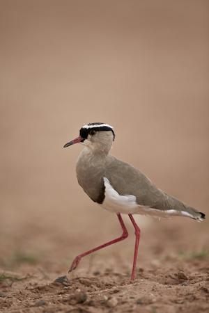 https://imgc.allpostersimages.com/img/posters/crowned-plover-crowned-lapwing-vanellus-coronatus_u-L-PWFIUZ0.jpg?p=0